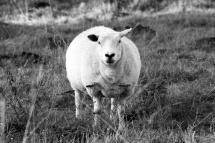 Photo mouton